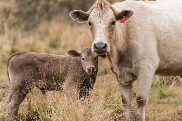 Cow and Calf, Damon, Texas