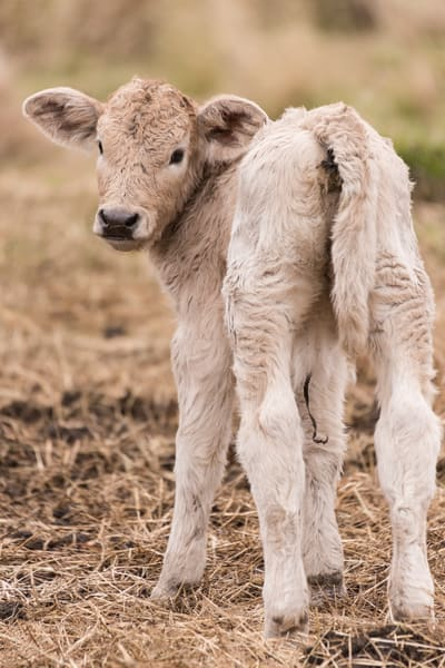 Newborn Calf, Damon, Texas