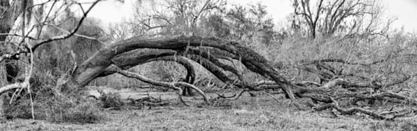 Fallen Live Oak Tree Pano, Damon, Texas