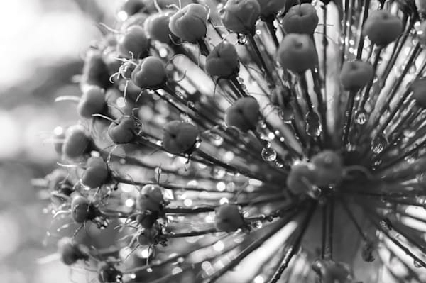 Alium After A Rain Photography Art | Sage & Balm Photography