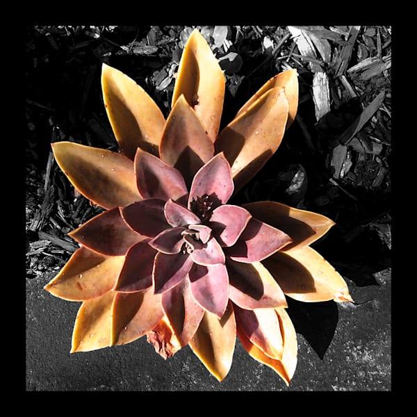 Succulent Flower for Sale as Fine Art