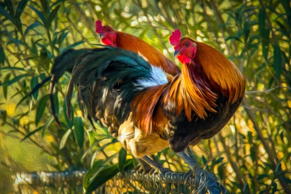 Amy S Roosters Oil Photography Art | Mason & Mason Images