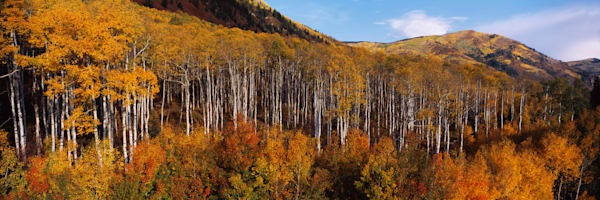 COL-T012 • Fall aspen grove on McClure Pass, Colorado