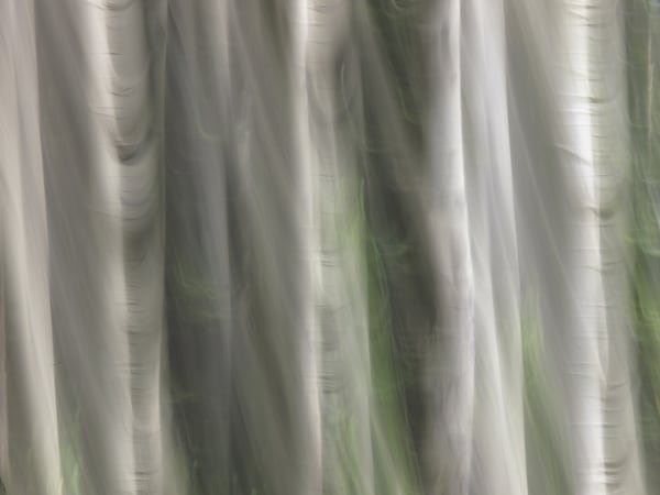 White Aspens Iii Art | The Carmel Gallery
