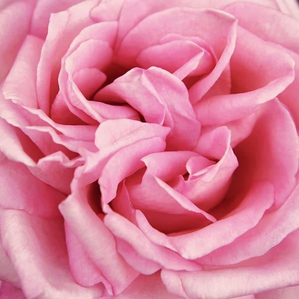 Pink Rose, Square
