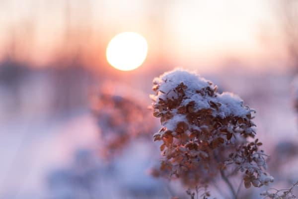 Hydrangeas At Sunrise Photography Art | Sage & Balm Photography
