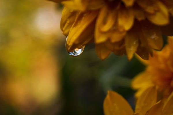 Marigolds In The Rain Photography Art | Sage & Balm Photography