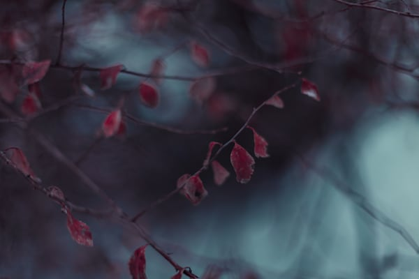 Red Winter Leaves Photography Art | Sage & Balm Photography