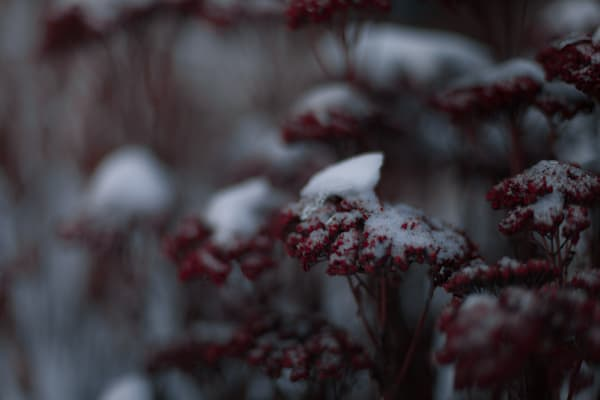 Red Sedums In Snow Photography Art   Sage & Balm Photography