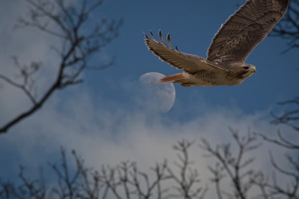 A spooky day moon - fog - red tailed hawk - fine art print - photography