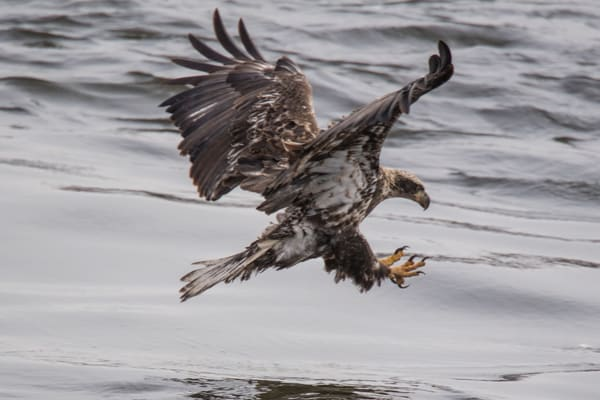 A junior bald eagle ready to pounce on a fish - fine art photography