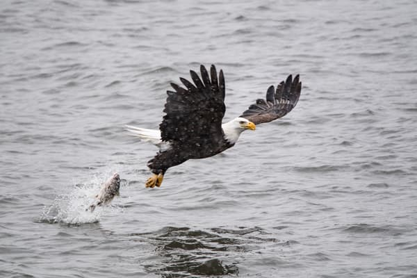 Bald Eagle - catching fish - art - photograph -