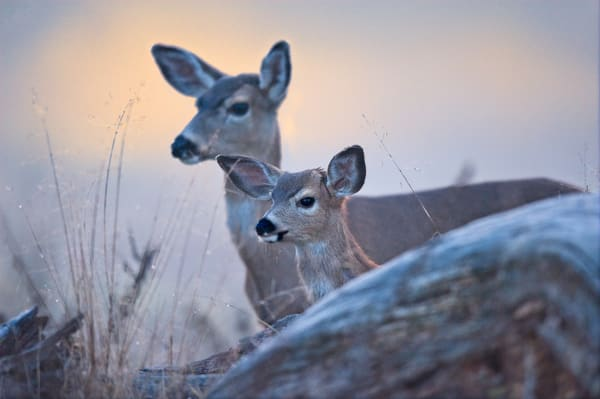 Doe and Fawn in Morning Mist