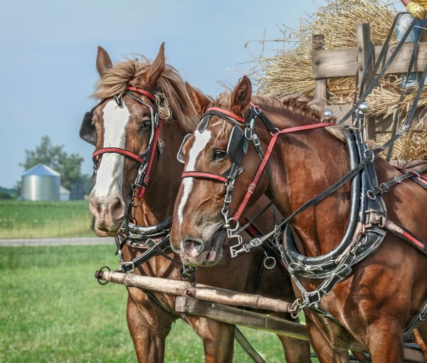 Farm Horse Team Pulling Wagon Loaded With Wheat To Thresher fleblanc