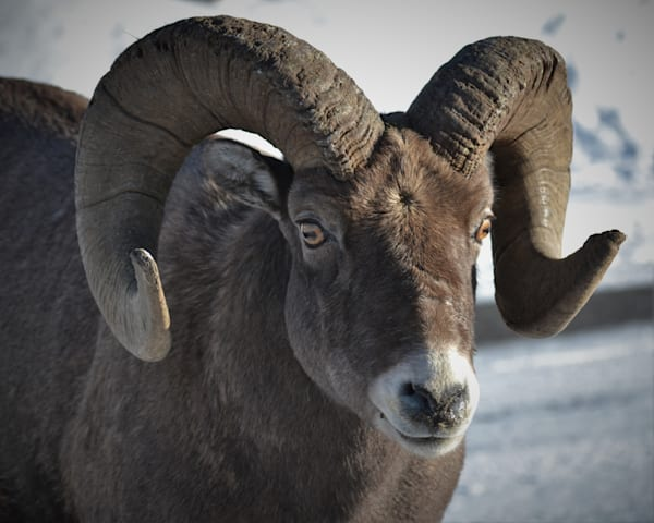 Photograph of a bighorn sheep for sale as Fine Art