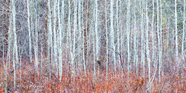 Leaveless Aspen Abstract (1810100ABND8) Photograph for Sale as Fine Art Print