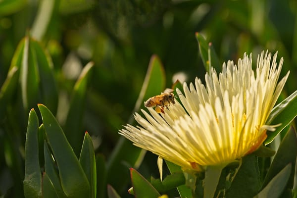 Bee and Ice Plant