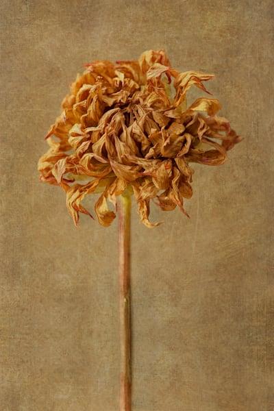 Dried Dahlia