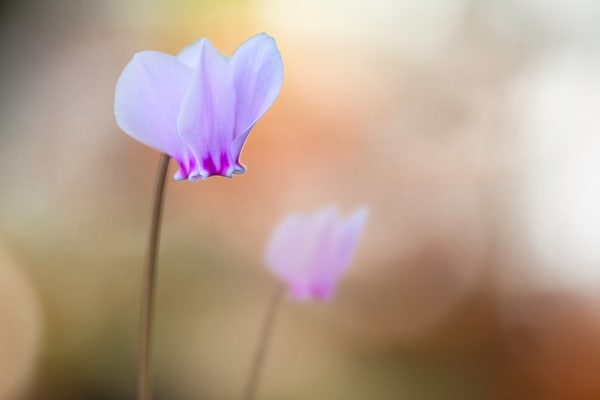 art photographs of purple Cyclamen flowers, Cyclamen flowers, pictures of purple Cyclamen Flowers,