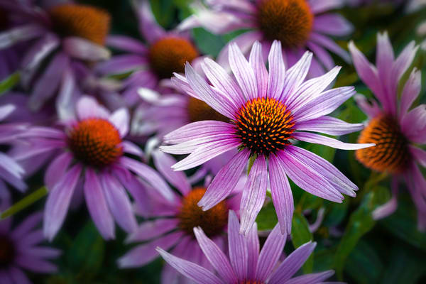 pictures of Echinacea flowers, art photographs of Echinacea flowers, pink and purple Echinacea blossoms,