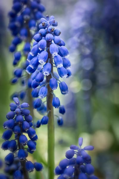 fields of Grape Hyacinth flowers, art photographs of blue Grape Hyacinths, pictures of Hyacinth flowers,