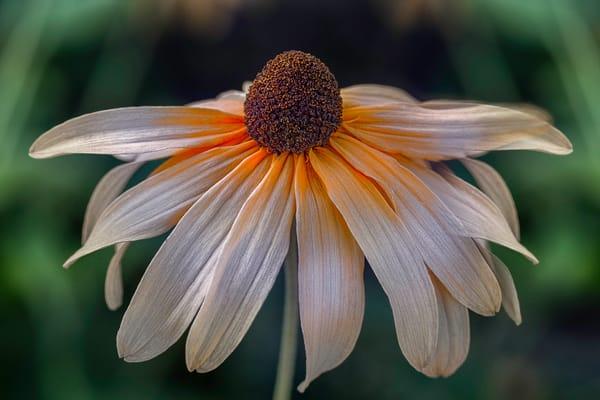 single Black Eyed Susan flowers, stems of Black Eyed Susan flowers, yellow Black Eyed Susan flowers,
