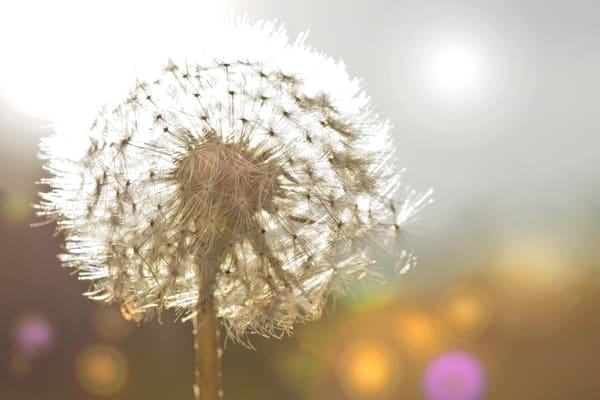 art photographs of Dandelion flowers, pictures of fields of dandelion flowers, landscape photographs of Dandelion flowers,