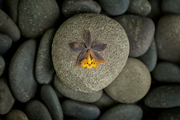Art photographs of Zen flowers, photographs of orchids on pebbles, Zen related pictures of orchids,