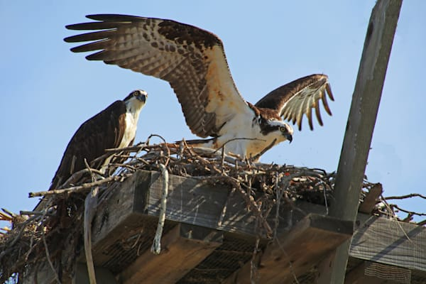 dramatic Osprey photograph