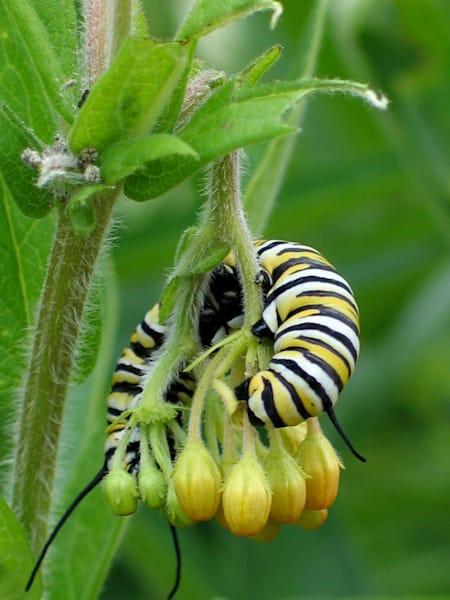 Monarch Caterpillar Art   Lucy Anna Perna