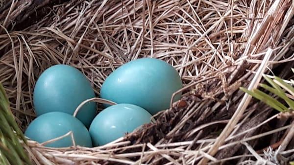 Robins Eggs Art   Lucy Anna Perna