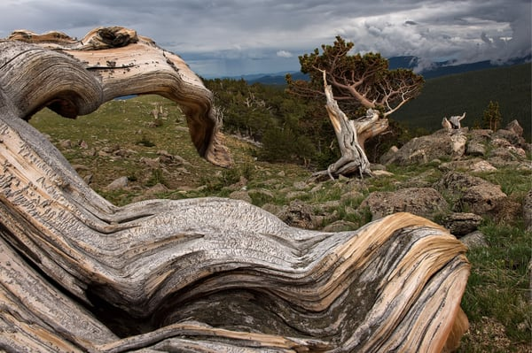Trees on Mount Evans 01