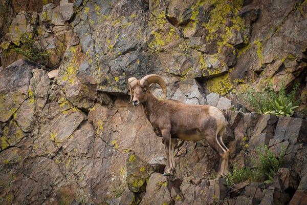 Photo of Colorado Rocky Mountain Bighorn Ram Scaling Sharp Cliff