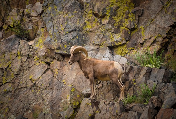 Photo of Colorado Rocky Mountain Bighorn Ram Scaling Steep Cliff
