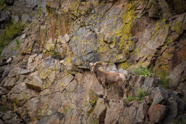 Photograph of Colorado Rocky Mountain Bighorn Ram Scaling Rock Face