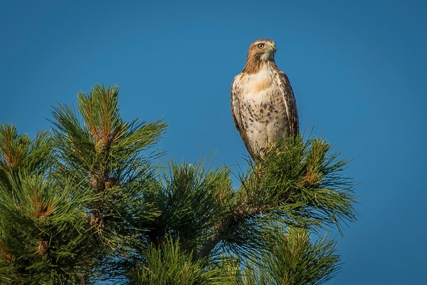 Photograph of Majestic Colorado Hawk on Ponderosa Pine Tree