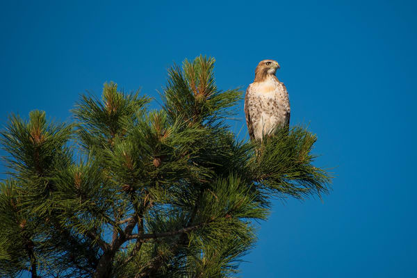 Photo of Beautiful Colorado Ferruginous Hawk atop Pine Tree