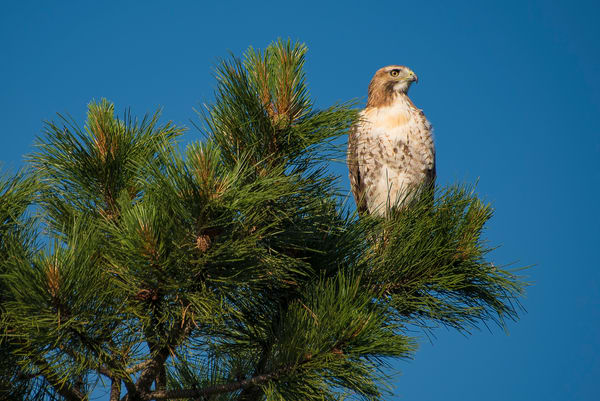 Photo of Hawk Perched atop Colorado Ponderosa Pine - Prints for Sale