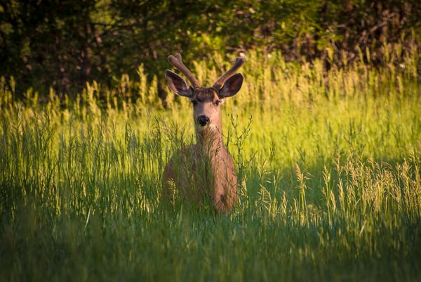 Photo of a Young Colorado Mule Deer Grazing on Wild Grasses