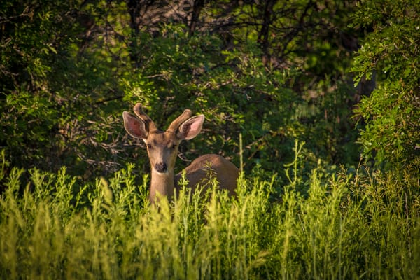 Photo of Young Buck Hiding in the Thicket - Colorado Mule Deer