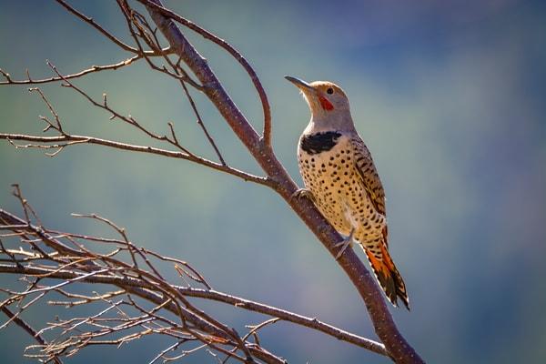 Photo of Colorado Gilded Flicker - Rocky Mountain National Park