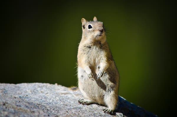 Photograph of Curious Chipmunk - Colorado Rocky Mountain National Park