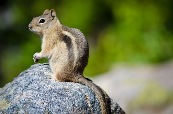 Photograph of Chipmunk in Colorado Rocky Mountain National Park