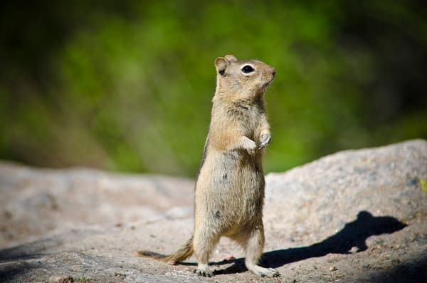 Photo of Friendly Chipmunk Colorado Rocky Mountain National Park Bear Lake Trail