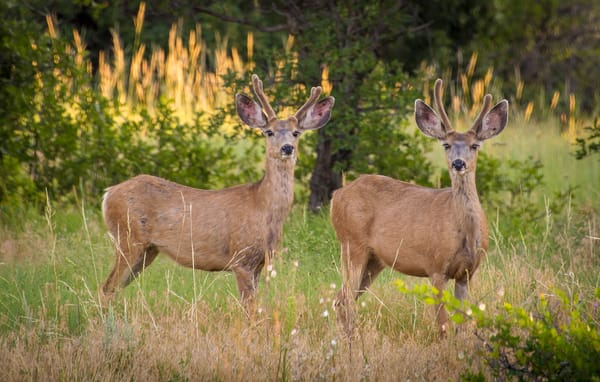 Photo of Two Young Colorado Mule Deer Bucks Grazing on Wild Grasses Late Spring