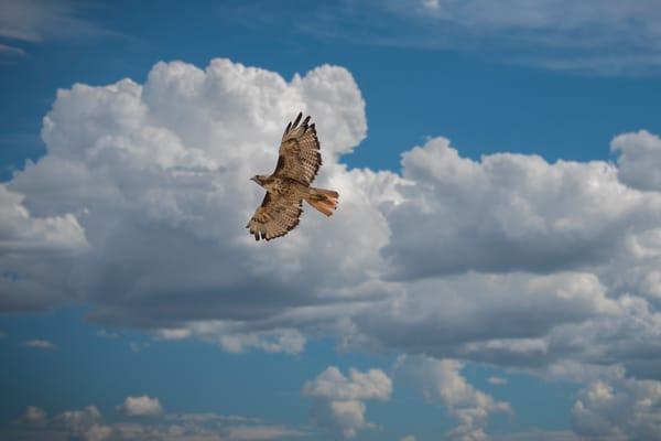Photo of Ferruginous Hawk Soaring Against Beautiful Blue Colorado Sky