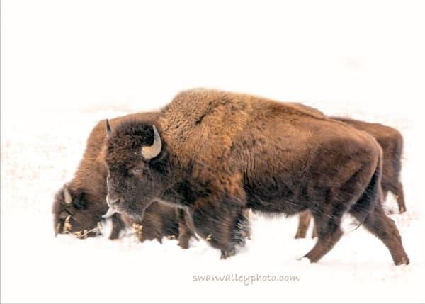 Winter  Bison Photography Art | Swan Valley Photo