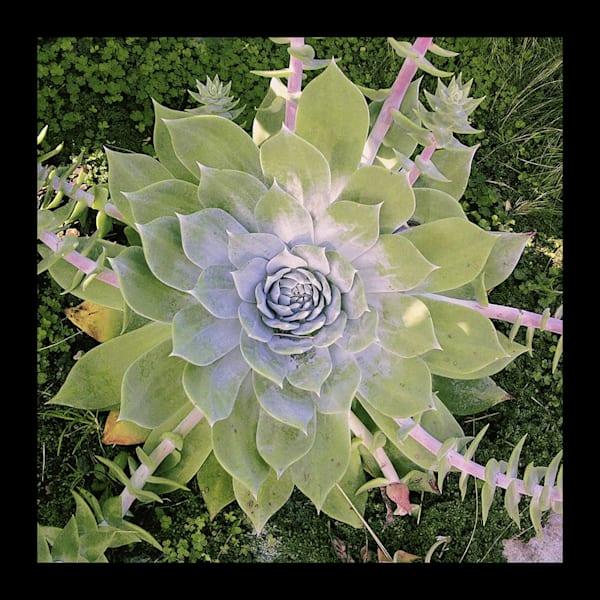 Zen Succulent Photograph for Sale as Fine Art
