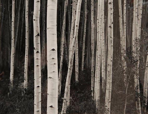 Aspen Forest, Dusk original fine art photograph by John Sexton
