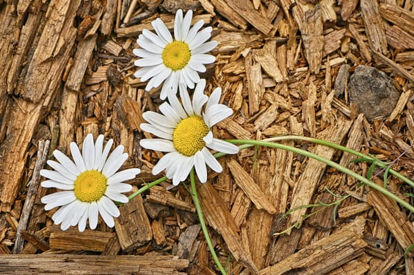 Forest Floor Daisies 01